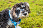 "Seven month old Schnoodle puppy ""Junho"" wearing a bandana in Issaquah, Washington, USA.  Schnoodles are a mix between a Schnauzer and a Poodle."