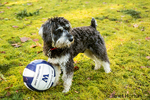 """Seven month old Schnoodle puppy """"Junho"""" with two of his favorite balls, in Issaquah, Washington, USA.  Schnoodles are a mix between a Schnauzer and a Poodle."""