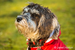 "Seven month old Schnoodle puppy ""Junho"" wearing his jacket on a cold day in Issaquah, Washington, USA.  Schnoodles are a mix between a Schnauzer and a Poodle."
