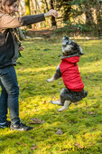 """Seven month old Schnoodle puppy """"Junho"""" being encouraged to jump by his owner, in Issaquah, Washington, USA.  Schnoodles are a mix between a Schnauzer and a Poodle."""