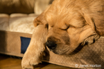 "Sleeping eight week old Golden Retriever puppy ""Beau"" in Issaquah, Washington, USA"