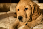 "Eight week old Golden Retriever puppy ""Beau"" resting in his bed in Issaquah, Washington, USA"