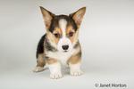 "Eight week old Corgi puppy ""Basil"" in Issaquah, Washington, USA"