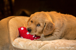 "Eight week old Golden Retriever puppy ""Beau"" playing with a toy in his bed in Issaquah, Washington, USA"