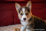 Eight week old Corgi puppy