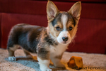 "Eight week old Corgi puppy ""Basil"" in Issaquah, Washington, USA"