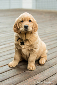 "Eight week old Golden Retriever puppy ""Beau"" sitting on a wooden deck in Issaquah, Washington, USA"