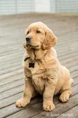 "Eight week old Golden Retriever puppy ""Beau"" sitting on a wooden deck in Issaquah, Washington, USA"
