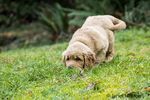 """Eight week old Golden Retriever puppy """"Beau"""" sniffing a scent in Issaquah, Washington, USA"""