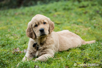 "Eight week old Golden Retriever puppy ""Beau"" resting in his lawn in Issaquah, Washington, USA"