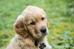 "Eight week old Golden Retriever puppy ""Beau"" sitting in his yard in Issaquah, Washington, USA"