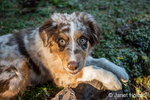 Four month old Red Merle Australian Shepherd puppy