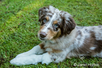 """Four month old Red Merle Australian Shepherd puppy """"Harvest Moon's Cimarron Rose"""" lying in the grassy lawn in Issaquah, Washington, USA.  Aussies are valued for their versatility, trainability and  eagerness to please. They have a similar look to the popular English Shepherd and Border Collie breeds."""