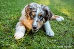 Four month old Red Merle Australian Shepherd puppy