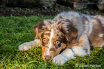 "Four month old Red Merle Australian Shepherd puppy ""Harvest Moon's Cimarron Rose"" lying in the grassy lawn in Issaquah, Washington, USA.  Aussies are valued for their versatility, trainability and  eagerness to please. They have a similar look to the popular English Shepherd and Border Collie breeds."