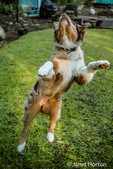 """Four month old Red Merle Australian Shepherd puppy """"Harvest Moon's Cimarron Rose"""" jumping for joy in Issaquah, Washington, USA.  Aussies are valued for their versatility, trainability and  eagerness to please. They have a similar look to the popular English Shepherd and Border Collie breeds."""