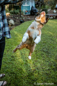 "Four month old Red Merle Australian Shepherd puppy ""Harvest Moon's Cimarron Rose"" jumping for joy in Issaquah, Washington, USA.  Aussies are valued for their versatility, trainability and  eagerness to please. They have a similar look to the popular English Shepherd and Border Collie breeds."