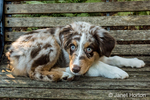"Four month old Red Merle Australian Shepherd puppy ""Harvest Moon's Cimarron Rose"" reclining on a wooden bench in Issaquah, Washington, USA.  Aussies are valued for their versatility, trainability and  eagerness to please. They have a similar look to the popular English Shepherd and Border Collie breeds."