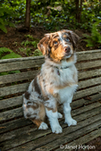 """Four month old Red Merle Australian Shepherd puppy """"Harvest Moon's Cimarron Rose"""" sitting on a wooden bench in Issaquah, Washington, USA.  Aussies are valued for their versatility, trainability and  eagerness to please. They have a similar look to the popular English Shepherd and Border Collie breeds."""