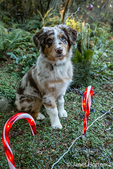 "Four month old Red Merle Australian Shepherd puppy ""Harvest Moon's Cimarron Rose"" sitting outside next to Christmas candy cane lights in Issaquah, Washington, USA.  Aussies are valued for their versatility, trainability and  eagerness to please. They have a similar look to the popular English Shepherd and Border Collie breeds."
