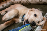 "Four month old Golden Retriever puppy ""Murphy"" chewing on an old shoe in Issaquah, Washington, USA"
