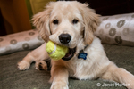 "Four month old Golden Retriever puppy ""Murphy"" chewing on a tennis ball in Issaquah, Washington, USA"
