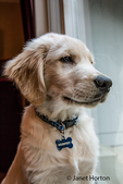 "Four month old Golden Retriever puppy ""Murphy"" in Issaquah, Washington, USA"