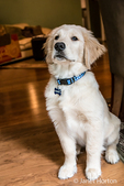 """Portrait of a four month old Golden Retriever puppy """"Murphy"""" in Issaquah, Washington, USA"""