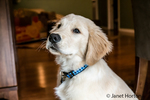 "Portrait of a four month old Golden Retriever puppy ""Murphy"" in Issaquah, Washington, USA"