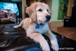 "Four month old Golden Retriever puppy ""Murphy"" reclining in Issaquah, Washington, USA"