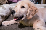 "Four month old Golden Retriever puppy ""Murphy"" resting in his bed in Issaquah, Washington, USA"