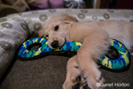 """Four month old Golden Retriever puppy """"Murphy"""" chewing on his tug toy in Issaquah, Washington, USA"""