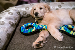 """Four month old Golden Retriever puppy """"Murphy"""" resting with his tug toy in Issaquah, Washington, USA"""
