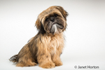 "Five month old Shih Tzu puppy ""Wilson"" in a sitting pose in Issaquah, Washington, USA"