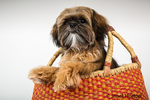 "Five month old Shih Tzu puppy ""Wilson"" sitting in a basket in Issaquah, Washington, USA"