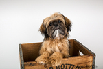 Five month old Shih Tzu puppy