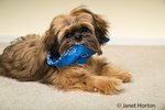 "Five month old Shih Tzu puppy ""Wilson"" in a reclining pose impishly chewing on his bandana in Issaquah, Washington, USA"
