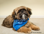 "Five month old Shih Tzu puppy ""Wilson"" wearing a bandana in a reclining pose in Issaquah, Washington, USA"