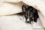 "Three month old Basenji puppy ""Oberon"" partially hidden in his bed in Covington, Washington, USA"