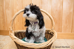"""Maltipoo puppy """"Amy"""" in a basket in Seattle, Washington, USA.  Maltipoos are a cross-breed/hybrid dog obtained by breeding a Maltese dog and a Poodle (usually of the Toy or Miniature size class). They are commonly considered to be hypoallergenic and are popular house pets due to their calm natures, wide range of colors, and small sizes."""
