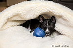"""Three month old Basenji puppy """"Oberon"""" playing with a treat-giving toy in his bed in Covington, Washington, USA"""