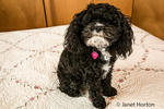 "Toy Poodle puppy ""Abby"" in Seattle, Washington, USA.  Other names for the breed include: Barbone, Caniche, Chien Canne, French Poodle, Pudle and Teddy Poodle."