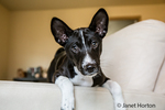 "Three month old Basenji puppy ""Oberon"" sitting with his legs over the side of a chair in Covington, Washington, USA"