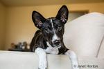 Three month old Basenji puppy