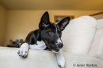 """Three month old Basenji puppy """"Oberon"""" sitting with his legs over the side of a chair in Covington, Washington, USA"""