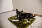 "Three month old Basenji puppy ""Oberon"" reclining on his bed in Covington, Washington, USA"