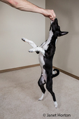"""Three month old Basenji puppy """"Oberon"""" rising up on his hind legs to get a treat in Covington, Washington, USA"""