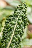 Close-up of over-wintered Dino Kale growing in a garden in Issaquah, Washington, USA.  It is also known as Dinosaur, Lacinato, Tuscan kale, Tuscan cabbage, Italian kale, cavolo nero, black kale, flat back cabbage, palm tree kale, or black Tuscan palm kale.