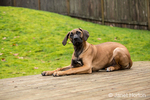 Four month old Rhodesian Ridgeback puppy reclining on a wooden deck in Issaquah, Washington, USA.  The Rhodesian ridgeback's distinguishing feature is the ridge of hair running along its back in the opposite direction from the rest of its coat.