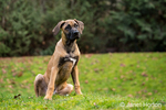 Four month old Rhodesian Ridgeback puppy sitting outside in Issaquah, Washington, USA.  The Rhodesian ridgeback's distinguishing feature is the ridge of hair running along its back in the opposite direction from the rest of its coat.
